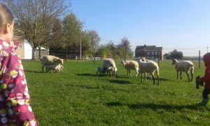 moutons en prairie